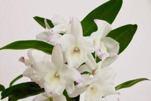 Dendrobium nobile blanc