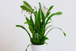 Orchidée Miltassia
