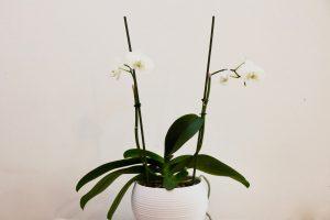 orchidee Phalaenopsis Cambridge Blanc