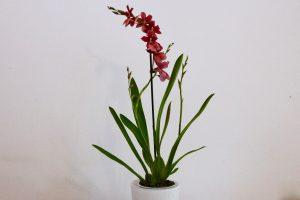 orchidee Burrageara Nelly Isler