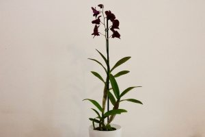 orchidee ikea Dendrobium Thailand Black