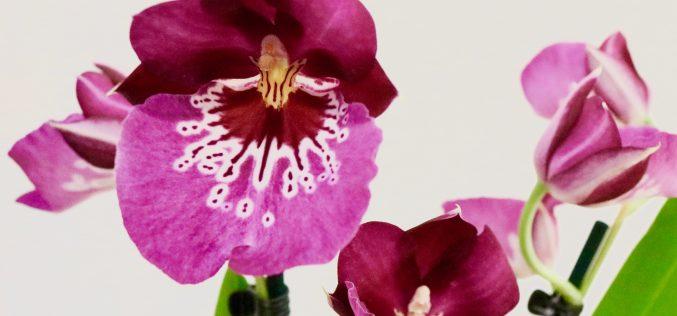 Ma collection d'orchidées