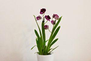 orchidee ikea Miltoniopsis Newton falls
