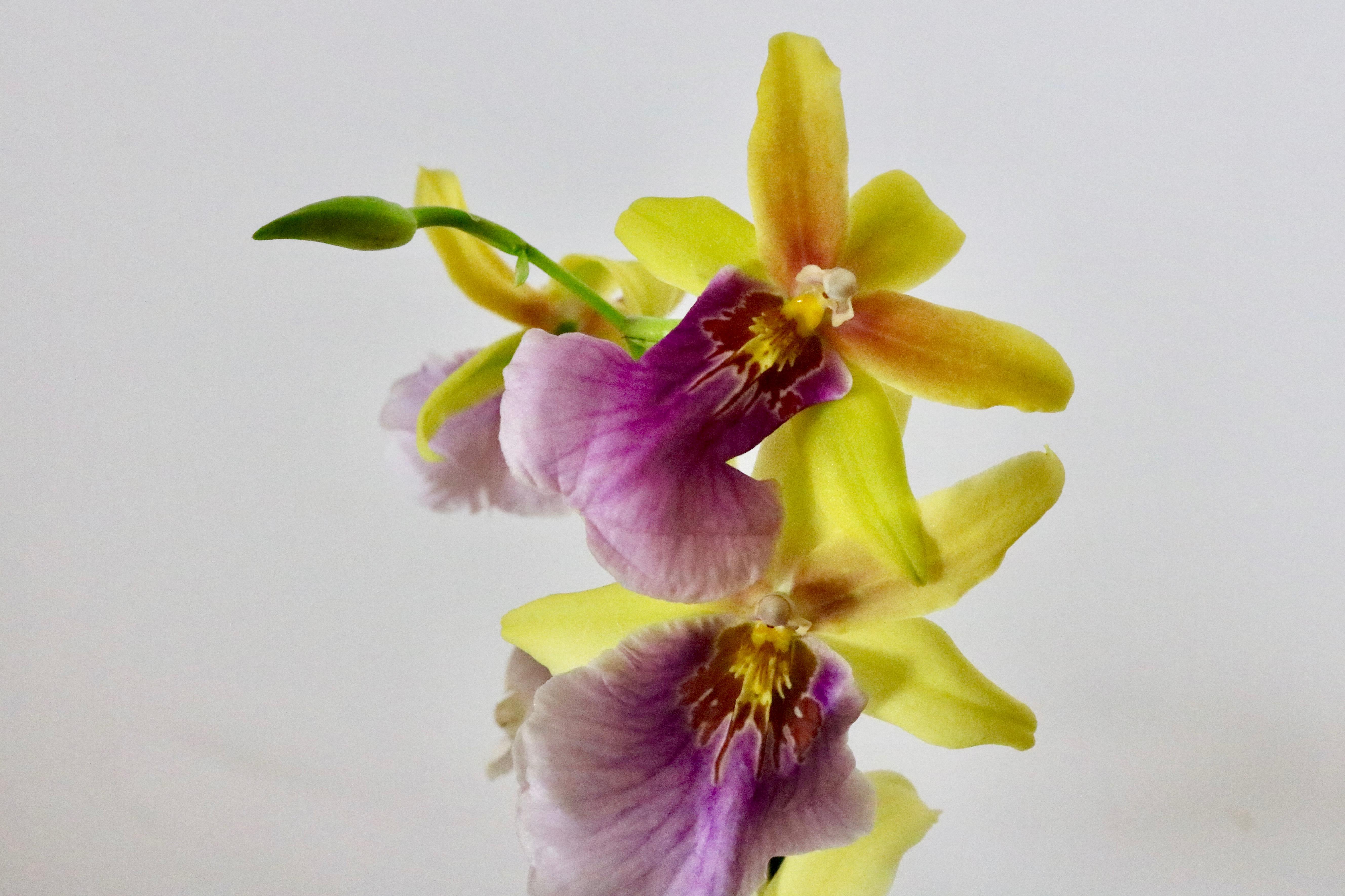 orchidee c