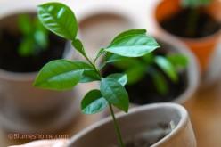 Planter les graines et noyaux des fruits que l'on mange