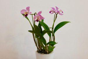Cattleya orchidée
