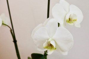 Phalaenopsis Cambridge Blanc