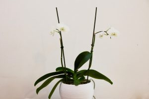 orchidee Phalaenopsis Cambridge Blanc