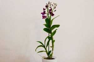 orchidee ikea Dendrobium Purple Happiness