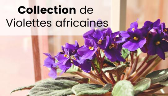 Ma collection de Violettes Africaines – Saint Paulia, les fleurs, spéciales et chimères